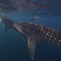 Rice Science Café: Whale Sharks