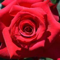Essentials of Growing Roses