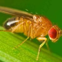 Rice Science Café: What fruit flies tell us about how genes shape the social environment